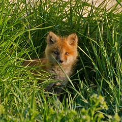 Red Fox Kit in the Grass (+6 in comments) (C-Dals) Tags: wild grass cub nikon fox kit pup redfox 70300mmf4556gvr d5100