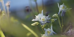 finally friday! (martinalinnea) Tags: flowers 50mm bokeh aquilegia columbine blommor 2012 aquilegiavulgaris f17 akleja dslra300 mygarden2012