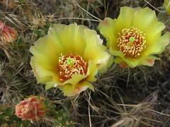 cactus (jcoutside) Tags: bankslake grandcouleedam grandcoulee basalt dryfalls steamboatrock sunlakesstatepark iceagefloods mosescoulee umatillarock
