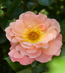 _DSC3490b (aeschylus18917) Tags: pink flowers flower macro nature rose japan season tokyo spring nikon seasons blossom g rosa micro bloom   bud nikkor  f28 nerima vr pxt rosales  105mm nerimaku rosaceae 105mmf28   105mmf28gvrmicro  d700 nikkor105mmf28gvrmicro  nikond700 danielruyle aeschylus18917 danruyle druyle