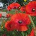 Sheffield poppies