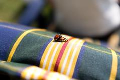 Ladybugs (Roy Sieh) Tags: mating ladybugs ladybirds larkollen