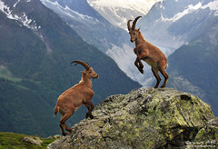 Mountain Ibex - Chamonix, French Alps (orvaratli) Tags: wild mountain france alps animal rock high wildlife fighting chamonix mtblanc ibex