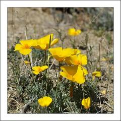 California Poppies (mark willocks) Tags: flowers arizona yellow desert tucson saguaronationalpark californiapoppies nikond90