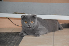 Gysmo (eric s67) Tags: cats cat chats katten kat chat scottish gatos gato katze fold gatto katzen gatti