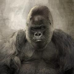 Grumpy old man (10000 wishes) Tags: portrait bw texture nature nikon gorilla wildlife nico longleat westernlowlandgorilla bestcapturesaoi