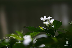 "kath-Maloti flower-1 (HamimCHOWDHURY  [Read my profile before you fol) Tags: life pink blue red portrait white black green nature yellow canon eos colorful purple faces sony gray magenta violet surreal ash dhaka dslr vaio rgb bangladesh 60d eos7d ""framebangladesh"" ""incrediblebengal"" gettyimagesbangladeshq2012 01611595036"