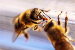 Trophallaxie (jamacab) Tags: food bee exchange nourriture abeille échange trophallaxis trophallaxie