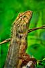 Lizard Striking a Pose from Forest in Phuket Thailand (Captain Kimo) Tags: thailand reptile lizard phuket highdynamicrange photomatixpro singleexposurehdr psuedohdr topazadjust captainkimo