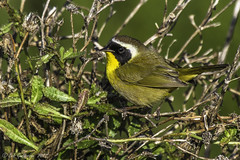 Common Yellowthroat (Bob Gunderson) Tags: california birds northerncalifornia eastbay warblers commonyellowthroat geothlypistrichas arrowheadmarsh woodwarblers