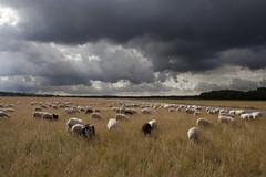 hoes (hoogmoet) Tags: utrecht sheep shepherd hond herd schapen vliegveld heuvelrug soesterberg herdershond luchtmacht basis kudde schaapskudde schaapherder