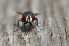 """Fly""... with me ... (Alex Verweij) Tags: macro canon garden table fly eyes rust close 100mm 7d resting tuin ogen flevoland almere tafel vlieg rusten alexverweij alelliba"