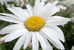 HUGE WHITE DAISY (ikan1711) Tags: flowers white yellow daisies petals blossoms daisy blooms whiteflowers beautifulflowers summerflowers burnabybc largepetals allflowers largedaisies