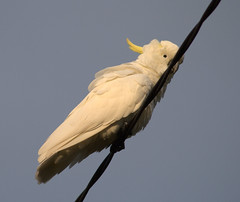 cockatoo on a wire (loobyloo55) Tags: bird nature animal fauna canon wildlife australia nsw cockatoo floraandfauna australianwildlife 400d canoneos400d canon400d animailia