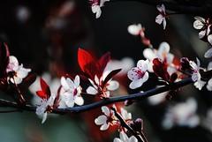 Fleur (Kristina_Servant) Tags: flower fleur spring bokeh printemps cerisier