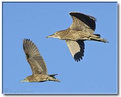 Juvenile Night Herons (Romair) Tags: california heron wetlands birdsinflight marincounty sanfranciscobay marsh nightheron cortemaderamarsh rogerjohnson