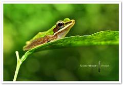 Copper-cheeked Frog (TOONMAN_blchin) Tags: frog coppercheekedfrog toonman mygearandme mygearandmepremium mygearandmebronze mygearandmesilver mygearandmegold mygearandmeplatinum