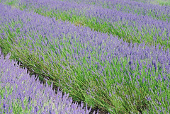 Waves of lavender (stephengg) Tags: field farm lavender hertfordshire hitchin herts cadwell arlesey ickleford