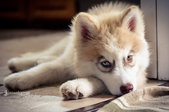 Chewy! (Jesse James Photography) Tags: red dog pet animal puppy eyes nikon husky siberianhusky blueeyechimera