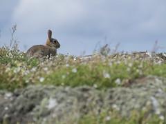 Rabbit (Cristian Gonzlez Titorenko) Tags: rabbit conejo isleofmay islademay