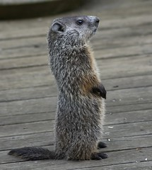 Cute But He Ate All My Petunias (gbglide) Tags: nature wildlife groundhog michigan eborn bornholtz woodchuck