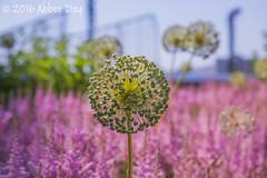 Urban garden (Abbeenormal) Tags: newyorkcity newyork urban garden wildflowers flowers city
