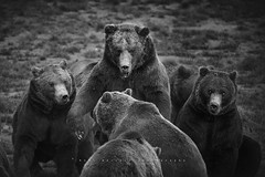 Osos pardos. Cabrceno, Cantabria. (Ral Barrero fotografa) Tags: osos pardos beard cabarceno cantabria wild animal