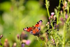 (julianwollek) Tags: red orange green nature butterfly photography fotografie natur adventure makrofotografie