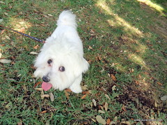Bichn malts (LAURA CLIMENT - PHOTOS) Tags: lauraclimentphotographer animals dog perro gos bichnmalts garden