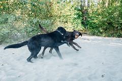 chase-roam-early-morning-mamquam-200816-ajbarlas-1226.jpg (A R D O R) Tags: ajbarlas ardorphotography blacklab chase chocolatelab dogs labrador puppy roam