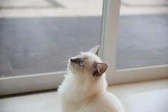 201608022-009 (Snowy Olaf) Tags: kitten britishlonghair       feliscatus  canon 5dmarkiii tamron 2470mm f28 a007