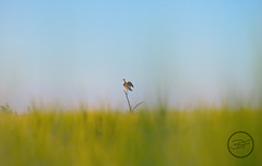 watching a bird watching me (breann.fischer) Tags: bird birdwatching northdakota greatplains wildprairie prairie nd2016contest