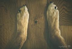35/52 - little heart (yookyland) Tags: 52weeksfordogs jasper 2016 3552 dog paws heart love wood texture