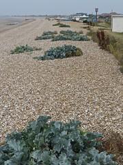 3525 Sea Kale - Crambe maritima - Littlestone-on-sea (Andy panomaniacanonymous) Tags: 20160818 bbb beach crambemaritima kent littlestoneonsea seakale shingle sss