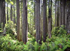 Friendship Ridge Redwoods (jbylund) Tags: california redwoods nikon d600