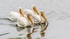 American White Pelicans (Bob Gunderson) Tags: americanwhitepelican birds california crissyfield northerncalifornia pelecanuserythrorhynchos pelicans presidio sanfrancisco