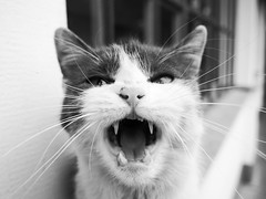 (Botond Pataki) Tags: animal pet mammal cat cute eyes black white gray bw monochrome contrast teeth tongue mustache whiskers kitten meow nose