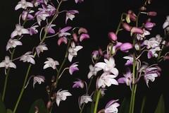 Dendrobium x delicatum (andreas lambrianides) Tags: dendrobiumxdelicatum naturalhybrid dkingianum dtarberi dspeciosumvarhillii lithophyte australianflora australiannativeorchids seq