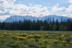 DSC03143 (pezlud) Tags: tetons flower pilgrimcreekroadarea pilgrim landscape mountains