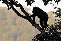 Champanzee, Nyungwe, Rwanda