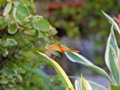 Resting time (Shafi Uddin1) Tags: drgonfly resting nature beautyofnature outdoor theartofnature bangladesh netrokona tree nikon nikkor nikkor40136mm nikonlens nikoncoolpix ngc supershot beautiful horizontal tim sonja maria clare