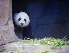 Mr. Wu - Nighttime Zoo 2016 (Rita Petita) Tags: xiaoliwu sandiegozoo sandiego california china giantpanda panda specanimal