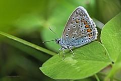 Bluling mnnl. 1 (DianaFE) Tags: dianafe insekt pflanze schmetterling tiefenschrfe schrfentiefe makro freihandmakro