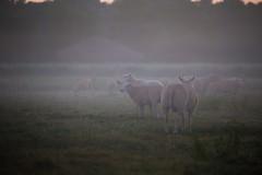 boerderij Heijerhof te Baexem (Charlotte Heynen - www.studiofotozo.nl) Tags: boerderij schapen vee vrijheid biologisch goedleven freedom nature natuur biological farm animals