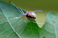 ggspindel / Candy Stripe Spider (Enoplognatha ovata) hona, redimita (Martin1446) Tags: nature natur nikon d90 macro makro ggspindel candy stripe spider enoplognatha ovata hona redimita