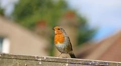 Sitting On The Fence........... (law_keven) Tags: robin robinredbreast garden gardenbirds catford london england birds bird