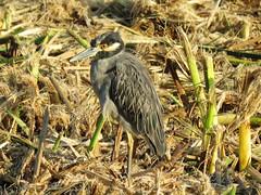 Yellow-crowned Night Heron (weezerbee9) Tags: