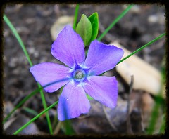 Periwinkle blue, no, she's not sad,                                                                                           She's really happy as can be. She's always bright, her heart is glad,  Beaming her big smiles at me. (chowdhuryfarah) Tags: periwinkle purple blue green natural nature outdoor blooms canon m3 mirrorless poem poetry