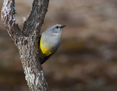 Western Yellow Robin (Trace Connolly) Tags: westernyellowrobin robin yellow nature australia australian environment environmental environmentalphotography