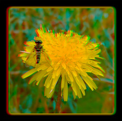 Male Ornate Snipe Fly on Dandelion 3 - Anaglyph 3D (DarkOnus) Tags: male ornate snipe fly dandelion chrysopilus ornatus weed pennsylvania buckscounty huawei mate8 cell phone 3d stereogram stereography stereo darkonus closeup macro insect anaglyph